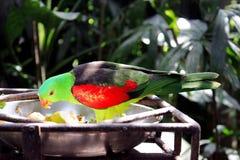 Una alimentación tropical colorida del loro Foto de archivo
