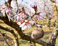 una almendra y algunas flores blancas de la almendra en el extremo de ramas de un árbol de almendra en un día de primavera con un fotografía de archivo