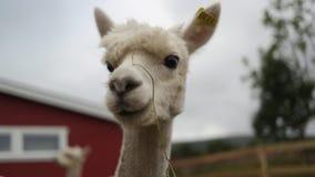 Una alpaca Imagen de archivo libre de regalías