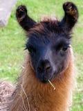 Una alpaca Fotografía de archivo libre de regalías