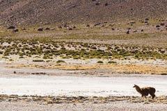 Una alpaca en reserva nacional de los flamencos del Los Imagenes de archivo