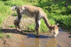 Una alpaca rapada Foto de archivo libre de regalías