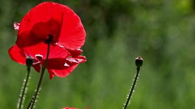 Una amapola roja brillante, atrae abejas Color atractivo, brillante, rojo En las amapolas del flor del jardín almacen de video