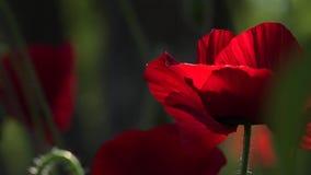 Una amapola roja brillante, atrae abejas Color atractivo, brillante, rojo En las amapolas del flor del jardín almacen de metraje de vídeo