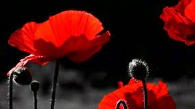 Una amapola roja brillante, atrae abejas Fondo rojo y negro almacen de metraje de vídeo