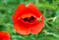 Una amapola roja en el prado con una abeja Fotografía de archivo libre de regalías