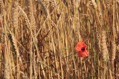 Una amapola solitaria en un campo Foto de archivo libre de regalías