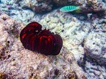 Una anémona rojo oscuro del mar tropical parece la flor Fotos de archivo