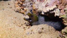 Una anguila de moray gigante metrajes