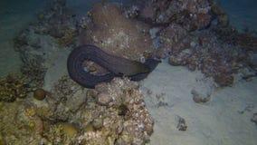 Una anguila de moray gigante almacen de video