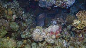 Una anguila de moray gigante almacen de metraje de vídeo