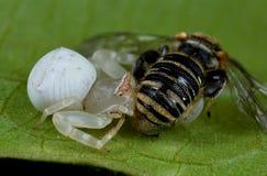 Una araña blanca con la presa - una abeja del cangrejo Fotografía de archivo libre de regalías
