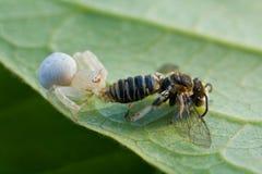 Una araña blanca con la presa - una abeja del cangrejo Imagenes de archivo