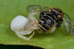 Una araña blanca con la presa - una abeja del cangrejo Imagen de archivo libre de regalías