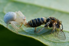 Una araña blanca con la presa - una abeja del cangrejo Fotografía de archivo