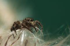 Una araña camina en la piel blanca de la hierba imagen de archivo