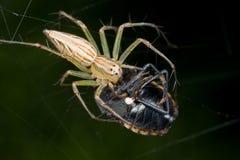 Una araña con la presa - un fallo de funcionamiento del lince del blindaje - en un Web Imágenes de archivo libres de regalías