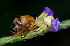 Una araña con la presa - una abeja del cangrejo Fotografía de archivo libre de regalías