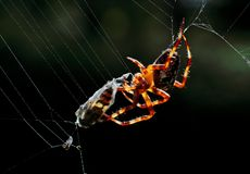 Una araña con su presa Imagen de archivo