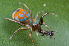 Una araña de salto del siler colorido con la presa de la hormiga imagenes de archivo