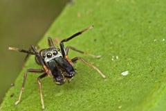 Una araña de salto Hormiga-mímica Fotografía de archivo