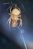 Una araña en una caza, víctima en un web Imagen de archivo