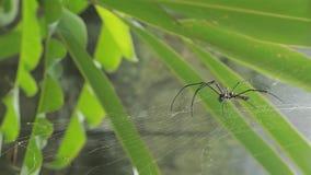 Una araña gigante femenina de maderas en el bosque de la montaña de Taipei almacen de metraje de vídeo