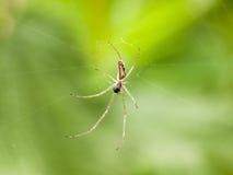 Una araña que cuelga abajo de cierre para arriba en un web en el macr de la luz de la primavera Foto de archivo libre de regalías