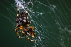Una araña que espera en la web, se cierra para arriba fotos de archivo