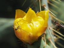 Una araña verde espera su presa en una flor amarilla del cactus del higo chumbo Imagenes de archivo