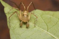 Una araña del lince en una hoja Fotos de archivo libres de regalías