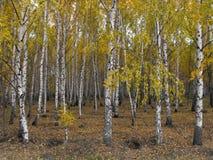 Una arboleda de los árboles de abedul Imagen de archivo libre de regalías