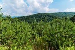 Una arboleda de pinos verdes claros jovenes con vistas a las colinas verdes y a las montañas azules en el horizonte Imagenes de archivo