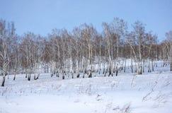 Una arboleda del abedul con los árboles desnudos en una colina nevosa Imagen de archivo libre de regalías