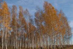 Una arboleda del abedul en los rayos del sol del otoño Foto de archivo