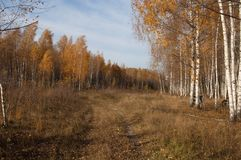 Una arboleda del abedul en los rayos del sol del otoño Fotos de archivo