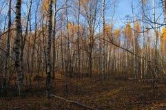 Una arboleda del abedul en otoño Foto de archivo