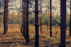 Una arboleda del abedul en otoño Imagen de archivo