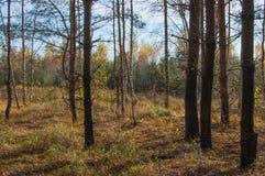 Una arboleda del abedul en otoño Fotos de archivo libres de regalías