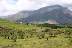 Una arboleda verde oliva en Crete, Gree fotos de archivo