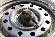 Una ardilla dentro de un neumático Foto de archivo libre de regalías