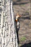 Una ardilla en un árbol Fotografía de archivo libre de regalías