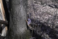 Una ardilla en un bosque imágenes de archivo libres de regalías