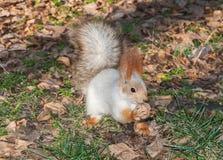 Una ardilla en un parque Foto de archivo