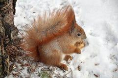 Una ardilla está en un parque del invierno fotos de archivo
