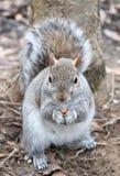 Una ardilla gris come una pequeña nuez por un árbol en febrero de 2018 Fotografía de archivo libre de regalías