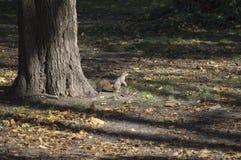 Una ardilla libera en el salvaje Imagen de archivo