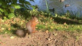 Una ardilla linda roe una nuez en un parque del otoño metrajes