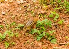 Una ardilla listada que corre alrededor en la hierba que se divierte fotografía de archivo