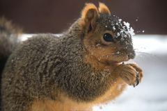 Una ardilla que come durante el invierno Foto de archivo libre de regalías